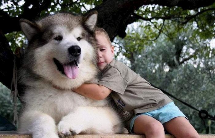 Top 3 shop chó Alaska uy tín tại Việt Nam