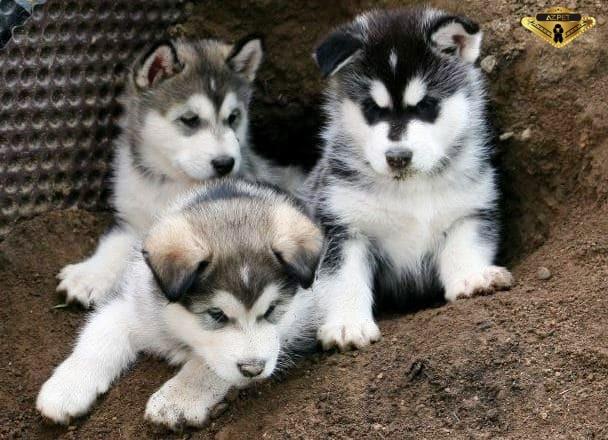 Nuôi chó alaska có khó không? Cần lưu ý những điều gì?