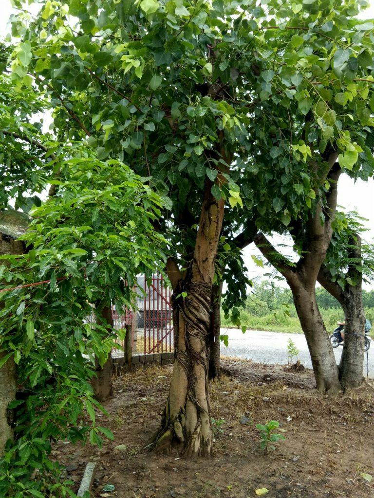 Tổng quan về cây Bồ Đề trồng tại các công trình tâm linh